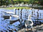 McMurray, Bob - Duck Pond